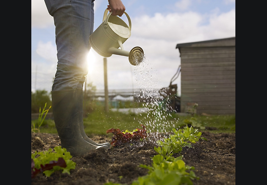 Female in wellies watering Vegetables at allotment